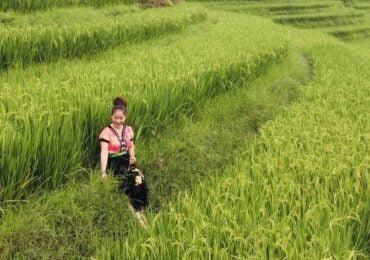 ripe terraced rice fields 4